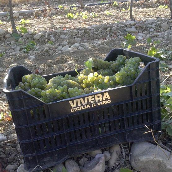 grapes vintage